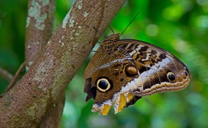 Owl-Eyed-Butterfly