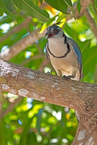 blue-magpie-jay